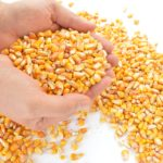Monsanto – Neuer Gift-Mais vor Zulassung